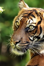 Preview iPhone wallpaper Tiger look back, face, green eyes