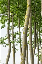 Preview iPhone wallpaper Trees, trunk, white background