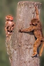 Preview iPhone wallpaper Two monkeys, stump