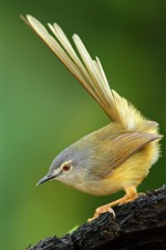 Preview iPhone wallpaper Yellow-bellied prinia, bird, tail