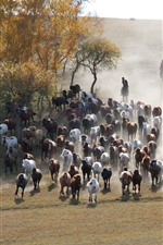 Bashang, many horses, grassland, trees, China