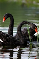 Preview iPhone wallpaper Black swans, grass, pond