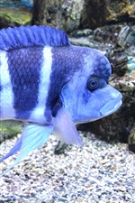 Preview iPhone wallpaper Blue striped fish