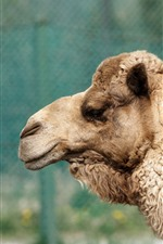 Preview iPhone wallpaper Camel, head, zoo