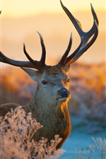 Preview iPhone wallpaper Deer, horn, look, sunshine