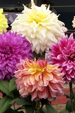 Preview iPhone wallpaper Different colors of dahlias