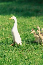 Duck family, ducklings, grass