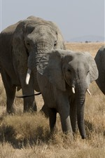 Preview iPhone wallpaper Elephants, wildlife, grass