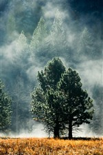 Forest, pines, trees, fog, autumn