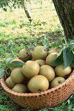Fresh pears, basket, trees