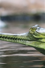 Preview iPhone wallpaper Gharial, crocodile, head, mouth, teeth