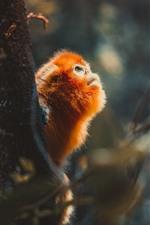 Preview iPhone wallpaper Golden monkey, tree, look, wildlife