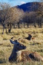 Preview iPhone wallpaper Grassland, trees, deers, wildlife