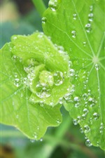 Preview iPhone wallpaper Green leaves close-up, water droplets