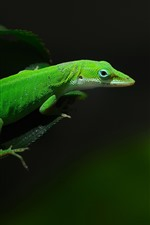 Preview iPhone wallpaper Green lizard, black background