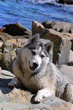 Cão Husky, rochas, mar