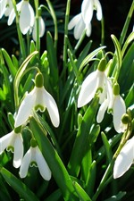 Preview iPhone wallpaper Many white snowdrops