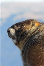 Marmot, look back