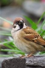 Preview iPhone wallpaper One bird, sparrow, look