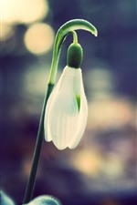 One snowdrops bud