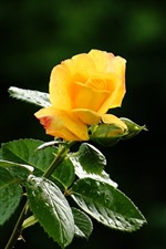One yellow rose, petals, green leaves, water droplets, hazy background