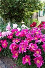 iPhone壁紙のプレビュー ピンクと白の牡丹、花壇、家