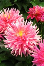 Preview iPhone wallpaper Pink flowers, dahlias
