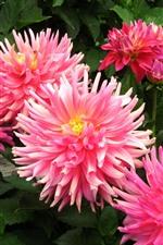 iPhone壁紙のプレビュー ピンクの花、ダリア