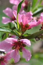 Pink peach flowers bloom, spring, twigs