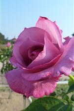 Preview iPhone wallpaper Pink rose close-up, petals, sunshine