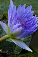Purple water lily, pond