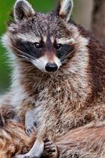 Preview iPhone wallpaper Raccoon, rest, wildlife