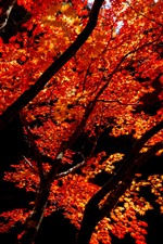 Preview iPhone wallpaper Red maple leaves, trees, autumn