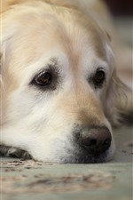 Preview iPhone wallpaper Sadness golden retriever
