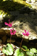 Some pink flowers, rocks