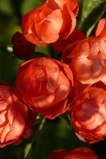 Some red roses bloom, sunshine