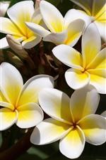 iPhone壁紙のプレビュー 黄色いプルメリアの花