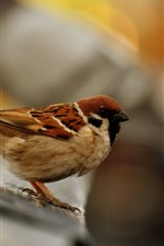 Preview iPhone wallpaper Sparrow close-up, bird, hazy background