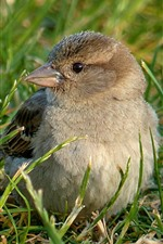 Sparrow, grass, bird