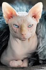 スフィンクス猫、顔、表情