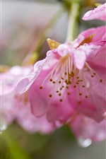 Preview iPhone wallpaper Spring flowers, pink sakura, water droplets