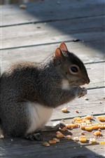 Preview iPhone wallpaper Squirrel eating corn