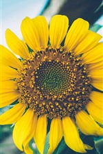 Preview iPhone wallpaper Sunflower, yellow petals