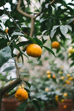 Preview iPhone wallpaper Tangerines, harvest, fruit
