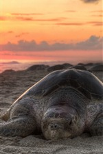 Preview iPhone wallpaper Turtle, beach, sunset