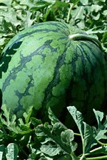 Watermelon, green leaves