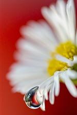 iPhone обои Цветок белой ромашки, роса, красный фон