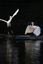 White heron, hunting fish, lake