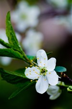 iPhone壁紙のプレビュー 白い梅の花が咲く、春