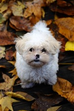 Preview iPhone wallpaper White puppy look up, yellow leaves, autumn